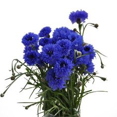 Cornflower-legend has it that a young man in love will wear a bright cornflower in his lapel; if his love is returned the flower will remain bright and fresh. Symbolizing blessedness and hope in love.