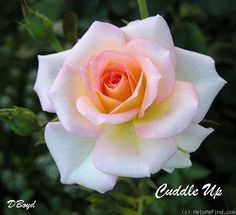 Photo of the rose 'Cuddle Up' Rose Flower Pictures, Beautiful Flowers Pictures, Beautiful Rose Flowers, Rose Photos, Pretty Roses, Flowers Nature, Amazing Flowers, Pretty Flowers, Rose Reference