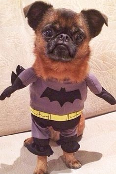 Brussels griffon Batman petit brabancon. I mean seriously, who WOULDNT want that cute face!?!