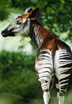 It's a zebra, no it's a giraffe, no it's an OKAPI. Best of both worlds! :)