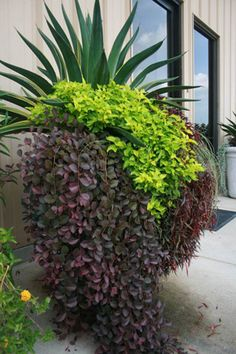 In addition to a textural  contrast between the plants  in this container, there is a striking  color contrast between the Agave  americana (upright green plant),  Loropetalum chinense 'Purple Pixie'  (weeping purple foliage plant) and  Spiraea japonica 'Limemound' (lime  green foliage plant). At the entrance  of this building, such a striking color  combination draws attention and  invites inspection.