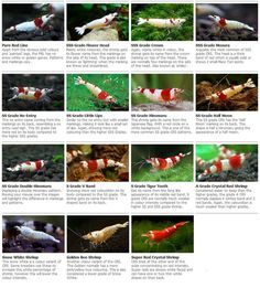 A Guide To Crystal Red Shrimp #aquariumshrimpfreshwater #nanoaquariumshrimp #aquariumshrimptanks #aquariumshrimpred #aquariumshrimpproducts #plantedaquariumshrimp #aquariumshrimpcare #aquariumshrimpposts #aquariumshrimpwatches #aquariumshrimpbeautiful #aquariumshrimpguys #aquariumshrimpcherries #aquariumshrimparticles #aquariumshrimppictures #aquariumshrimprocks