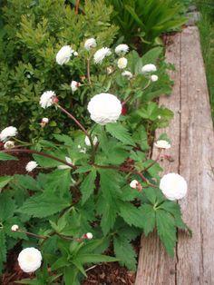 Hagerommet: Duppesoleie Ranunculus, Outdoor Living, Flora, Planters, Provence, Gardening, Sodas, Outdoor Life, Persian Buttercup