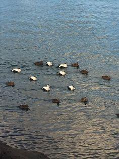 Birbs Iceland, October, Bird, Animals, Ice Land, Animales, Animaux, Birds, Animal