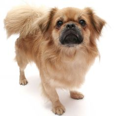 I love how cute this Tibetan Spaniel is! Such an adorable breed.