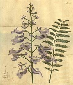 Jacaranda mimosifolia as Jacaranda ovalifolia R.Br. - circa 1822