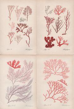1909 Set of 4 Prints of Red Algae Antique Print Lithograph Vintage Botanical Alga Botany Illustration Rhodophyceae Algen Seaweed Rhodophyta