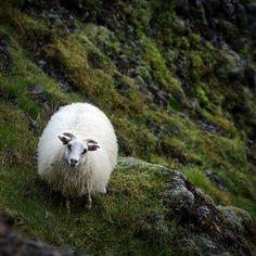 Icelandic sheep, Skógafoss, Iceland by pas le matin, via Flickr