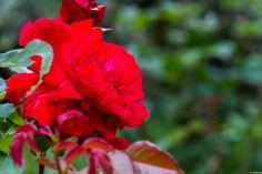 写真 赤い薔薇 情熱を貴方に