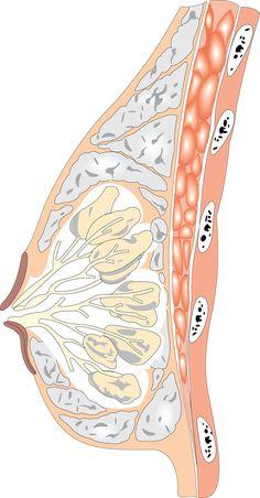 breast diagram, lactation