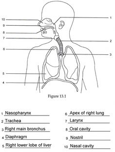 Structure of the Human Respiratory System Explicated With Diagrams ...