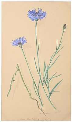 Cornflower, Margaret Dickinson Gallery » The Natural History Society of Northumbria