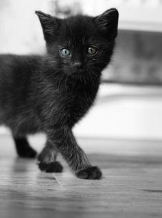 ruby, 8-week-old kitten (zoëgibbs)