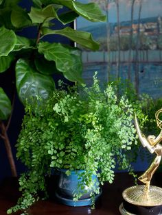 Maidenhair Fern - Houseplants 101: Choosing the Right Indoor Greenery on HGTV