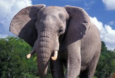 20 Interesting African Elephant Facts for Kids