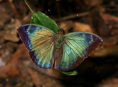 Shining Green Forester. A butterfly in Africa.
