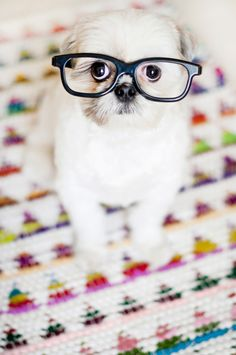 Coco Bean Geek Chic // By Chic Sprinkles #dog #glasses
