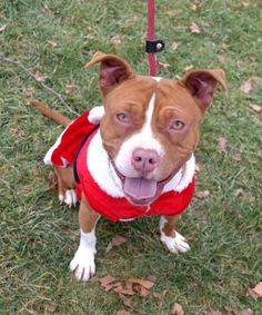 7 / 30 - Petango.com – Meet Sasha, a 3 years 1 month Terrier, Pit Bull / Mix available for adoption in ANDERSON, IN Address  613 Dewey Street, ANDERSON, IN, 46016  Phone  (765) 356-0900  Website  http://www.petango.com/shelter s/1058  Email  kwilson1236@gmail.com.com