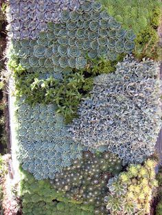 Filoli Garden Tour… Living Wall (detail) succulents are easily the best. Vertical Succulent Gardens, Succulent Gardening, Planting Succulents, Succulent Wall, Succulent Planters, Indoor Gardening, Blue Succulents, Growing Succulents, Succulents In Containers