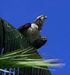 Osprey on Palm in Florida USA