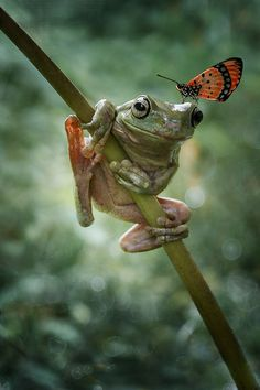 Butterfly on a Frog Photograph WITH U by Alonk's Roby on Funny Frogs, Cute Frogs, Animals And Pets, Funny Animals, Cute Animals, Wild Animals, Baby Animals, Reptiles And Amphibians, Mammals