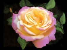CLIMBING PEACE Roses Rose Flower Yellow Pink Fragrant Live Plant Bush Bare Root