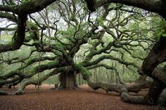 1500 yr old Angel Oak tree. Charleston, NC 1500 yr old Angel Oak tree. Charleston, NC In modern cities, it is almost impossible to take a seat inside a house with . Old Oak Tree, Old Trees, Carolina Do Sul, South Carolina Vacation, Myrtle Beach South Carolina, North Carolina, Nature Verte, Angel Oak Trees, Tree Angel