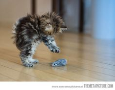 Ferocious cat hunting its prey… ATTACK!!!!