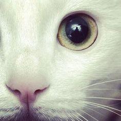 gorgeous white kitty.