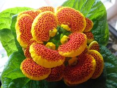 calceolaria - Google Search