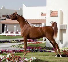 Arab Horse- most beautiful breed
