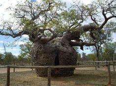 Árbol Boab. El origen de estos árboles se encuentra en el oeste australiano, en el área de Derby. El árbol de Boab, al tener un tronco hueco de gran tamaño, fue utilizado para mantener prisioneros a los criminales.