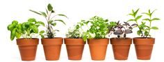Air Purifying House Plants - All Natural Allergy Relief. Benzene, trichloroethylene and formaldehyde, are just a few of those toxins that could lead to serious health issues like asthma, cancer and any number of allergies. Herb Garden, Garden Plants, Indoor Plants, House Plants, Succulent Plants, Water Plants, Allergies, Home Remedies, Natural Remedies