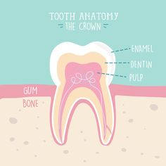 just all hard enamel! The soft tissue inside is full of nerves and nourishes the tooth.aren't just all hard enamel! The soft tissue inside is full of nerves and nourishes the tooth.