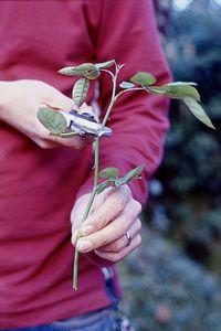 Rózsa szaporítás, futórózsa szaporítás - gazigazito.hu Diy Garden Decor, Diy Garden, Garden