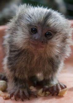 Marmoset (Monkey).