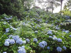 Hydrangeas are abundant in the Azores.