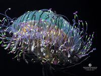 Free flower hat jelly wallpaper from the Monterey Bay Aquarium