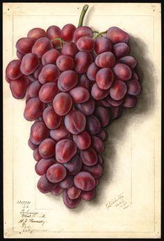 Schutt, Ellen Isham, Vitis grapes Takayo Black Land, 1912