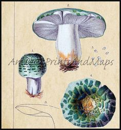 INSTANT DOWNLOAD Gorgeous Old Edible Russula by alphasoup on Etsy, $3.00