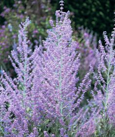 Container Gardening Ideas Russian Sage (Perovskia atiplicifolia) - Two experts share their favorite drought-tolerant plants that will make your life easier (and help you save water)! Long Blooming Perennials, Best Perennials, Flowers Perennials, Planting Flowers, Flowers Garden, Fall Flower Gardens, Outdoor Plants, Garden Plants, Shade Garden