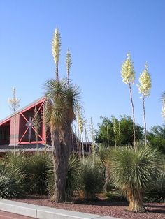 Palmilla or Soaptree / Yucca elata (Cochise County AZ)