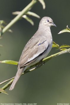 Picui Ground Dove (Columbina picui)