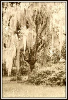 Oak tree at Goodwood Plantation. Chiropractic Clinic, Tallahassee Florida, Oak Tree, Heaven On Earth, Timeline Photos, Southern Style, Canopy, Photography Tips, Photo Shoot