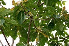 27 ILIPPA REVATHY http://know-your-hindu-religion.blogspot.ae/2014_03_01_archive.html birth star trees.