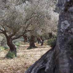 Sponsor an Olive Tree in Mallorca, we'll become it an unforgettable experience.  #Mediterranean #mallorca #majorca #nature #healthy #oil #olives #countrylife #weather #good #luxury #walking #travel #trip #food #cooking
