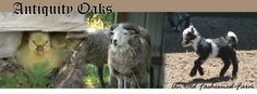 skipping baby goat! from antiquity oaks blog.