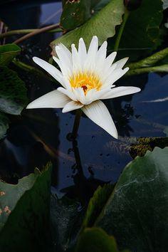 En güzel dekorasyon paylaşımları için Kadinika.com #kadinika #dekorasyon #decoration #woman #women A blooming lotus flower with yellow seed head