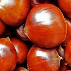 Châtaignier Marigoule baliveau 120 150 cm arbre en racine nue. La chataigne Marigoule avec ses gros fruits brun rouge brillant Achat en ligne.... Chestnut!