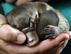such a cute baby platypus!